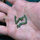 Scibor Monster Greens 2